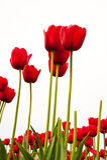 Tulipani Fotografie Stock Libere da Diritti