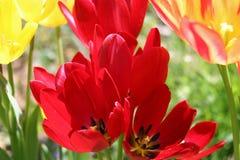 Tulipani 4 della sorgente Fotografia Stock