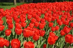 Tulipani Fotografia Stock Libera da Diritti