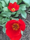 2 tulipani Fotografia Stock Libera da Diritti