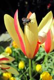 Tulipani 162 Immagini Stock Libere da Diritti