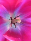Tulipani 180 Fotografia Stock