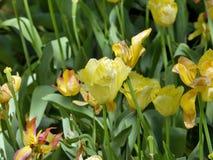 Tulipani Immagine Stock Libera da Diritti