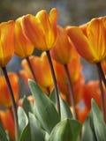 Tulipani al sole Immagine Stock