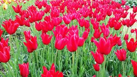 Tulipani Amsterdam Holland Flowers Colorful Fotografia Stock