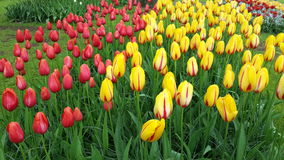 Tulipani Amsterdam Holland Flowers Colorful Fotografie Stock Libere da Diritti
