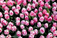 Tulipani arabi di rosa di mistero fotografia stock