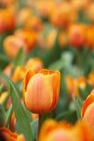 Tulipani arancio Immagini Stock Libere da Diritti