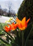 Tulipani arancio ardenti Immagine Stock Libera da Diritti