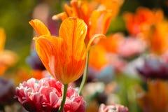 Tulipani arancio che fioriscono in un letto di fiore misto con le peonie fotografie stock libere da diritti