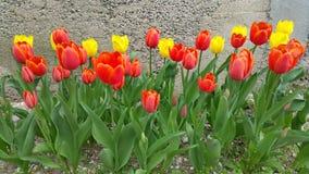 Tulipani arancio e gialli luminosi Fotografia Stock