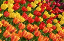 Tulipani arancio e gialli rossi Fotografia Stock