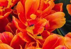 Tulipani arancio Keukenhoff Lisse Holland Netherlands di immaginazione della peonia immagini stock libere da diritti