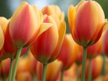 Tulipani arancio nel giardino botanico di Keukenhof, Olanda fotografia stock