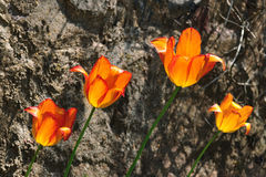 Tulipani arancioni Fotografia Stock