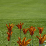 Tulipani arancioni immagine stock
