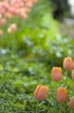 Tulipani arancioni Fotografie Stock