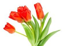 Tulipani arancioni su priorità bassa bianca Fotografie Stock