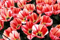 Tulipani beige con le bande rosse Immagini Stock Libere da Diritti