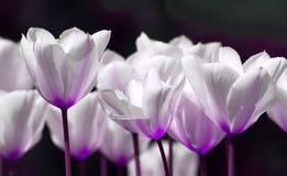 Tulipani bianchi Immagini Stock Libere da Diritti
