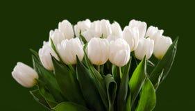 Tulipani bianchi 2 Fotografia Stock Libera da Diritti