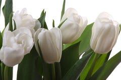 Tulipani bianchi. Fotografia Stock