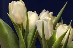 Tulipani bianchi Fotografia Stock