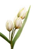 Tulipani bianchi Immagine Stock