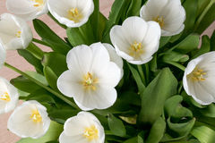Tulipani bianchi al sole Fotografie Stock Libere da Diritti