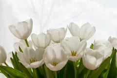 Tulipani bianchi al sole Immagini Stock Libere da Diritti