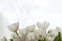 Tulipani bianchi al sole Immagine Stock