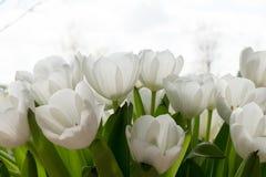 Tulipani bianchi al sole Fotografia Stock