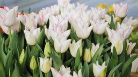 Tulipani bianchi con un primo piano rosso dell'orlo in una serra stock footage
