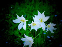 Tulipani bianchi del giardino - Londra Fotografia Stock