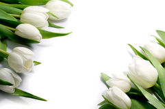 Tulipani bianchi in due angoli, isolati su fondo bianco Immagini Stock