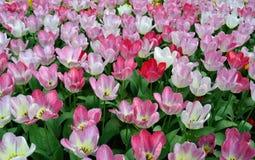Tulipani bianchi e dentellare Immagine Stock