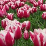 Tulipani bianchi 2 e di rosa immagine stock