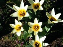 Tulipani bianchi e gialli di Kaufamia lungo il confine del fiore Fotografie Stock Libere da Diritti