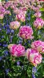 Tulipani bianchi e rosa freschi Immagine Stock