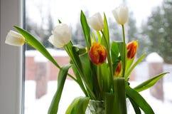 Tulipani bianchi e rossi sulla finestra Fotografie Stock Libere da Diritti