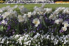 Tulipani bianchi fra le viole del pensiero blu e bianche Fotografia Stock