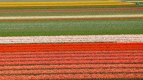 Tulipani bianchi in Keukenhof Immagini Stock