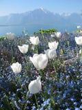 Tulipani bianchi nel lago geneva Immagini Stock