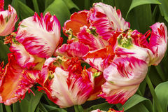 Tulipani bianchi rossi Keukenhoff Lisse Holland Netherlands della peonia immagini stock