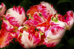 Tulipani bianchi rossi Keukenhoff Lisse Holland Netherlands della peonia fotografia stock libera da diritti