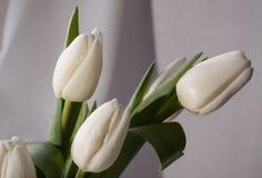 Tulipani bianchi su fondo bianco Immagine Stock