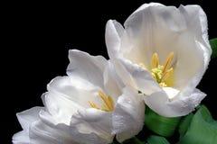 Tulipani bianchi sul nero Fotografia Stock