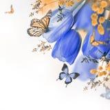 Tulipani blu con la mimosa e la farfalla Immagini Stock