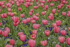 Tulipani che fioriscono nel giardino fotografia stock