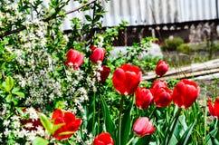 Tulipani che fioriscono nella ciliegia Fotografie Stock Libere da Diritti